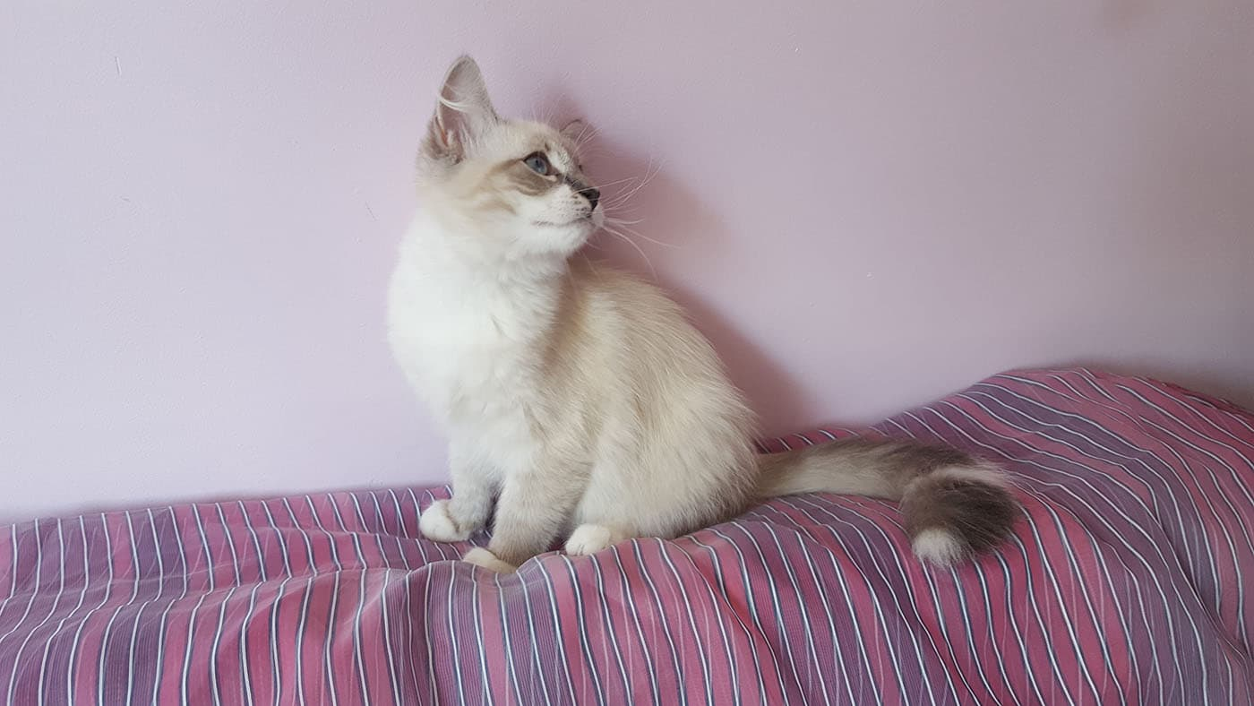 Alf - Male Siberian Neva Masquerade Cat - Litter A - Bastet Beauty Cattery 1