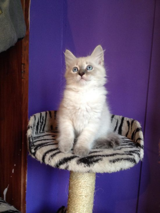 Alisija - Female Siberian Neva Masquerade Cat - Litter A - Bastet Beauty Cattery7