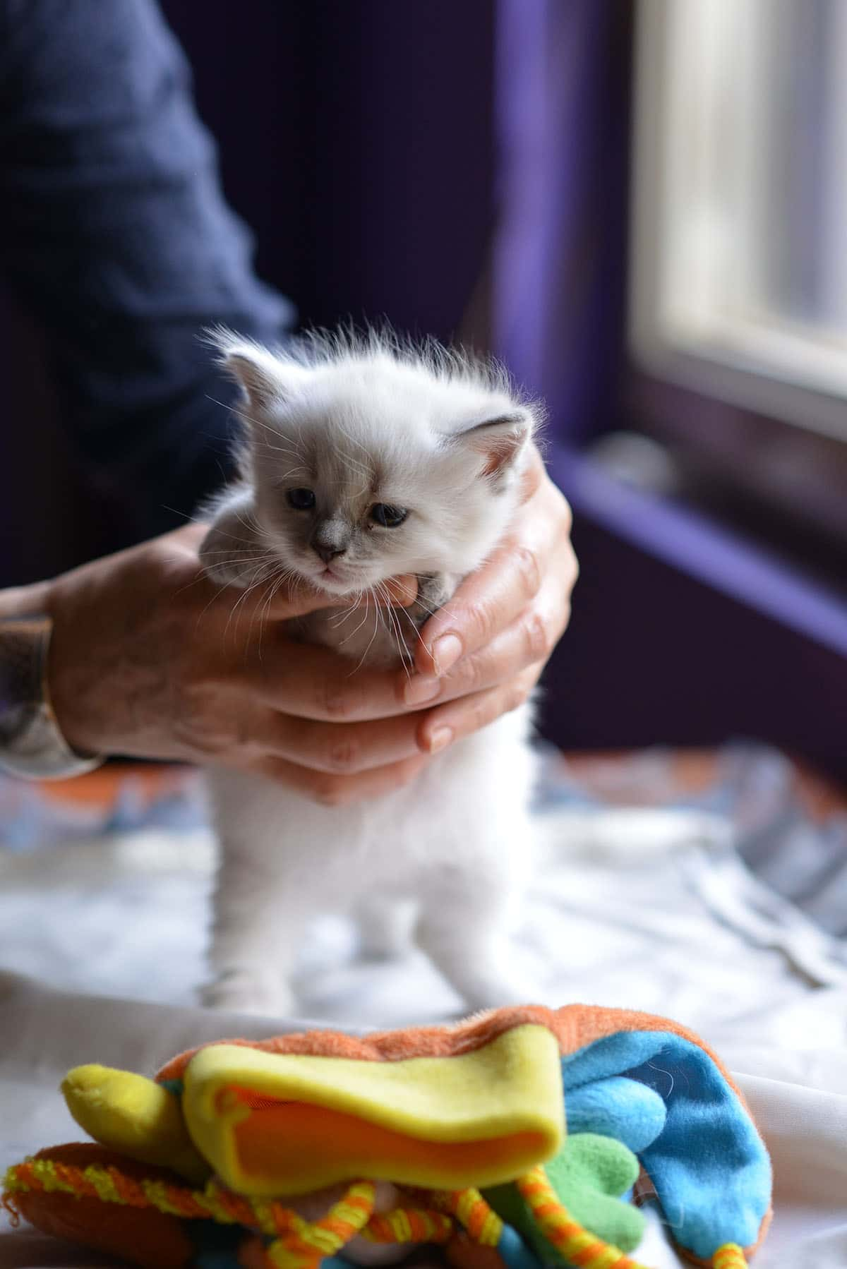 Andrejka-Male-Siberian-Neva-Masquerade-Cat-Litter-A-Bastet-Beauty-Cattery