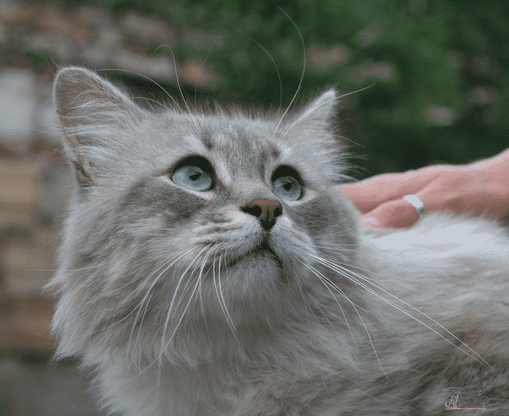 Bendidas_Ovidij_from_Bendidas_Cattery_-_Male_Siberian_Neva_Masquerade_Cat_-_Bastet_Beauty_Cattery6