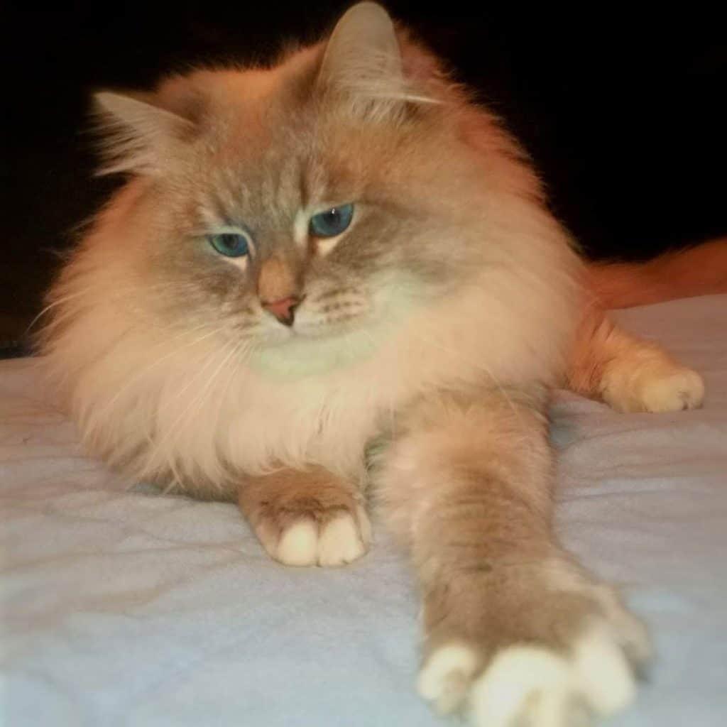 Torin-Ratibor-of-Bastet-Beauty---Siberian-Neva-Masquerade-male-cat