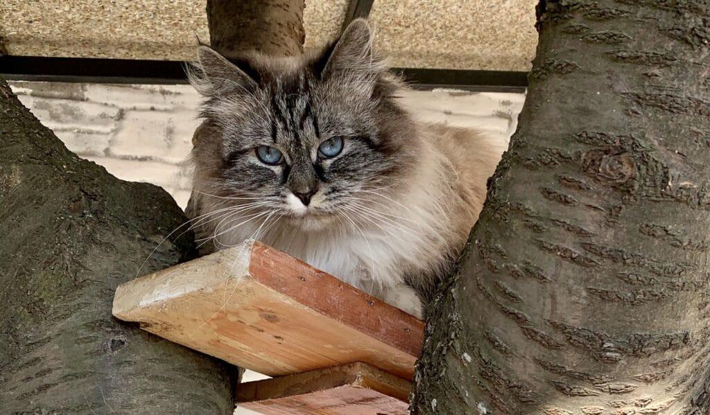 Ala Bastet Beauty – female Neva Masquerade cat (3)
