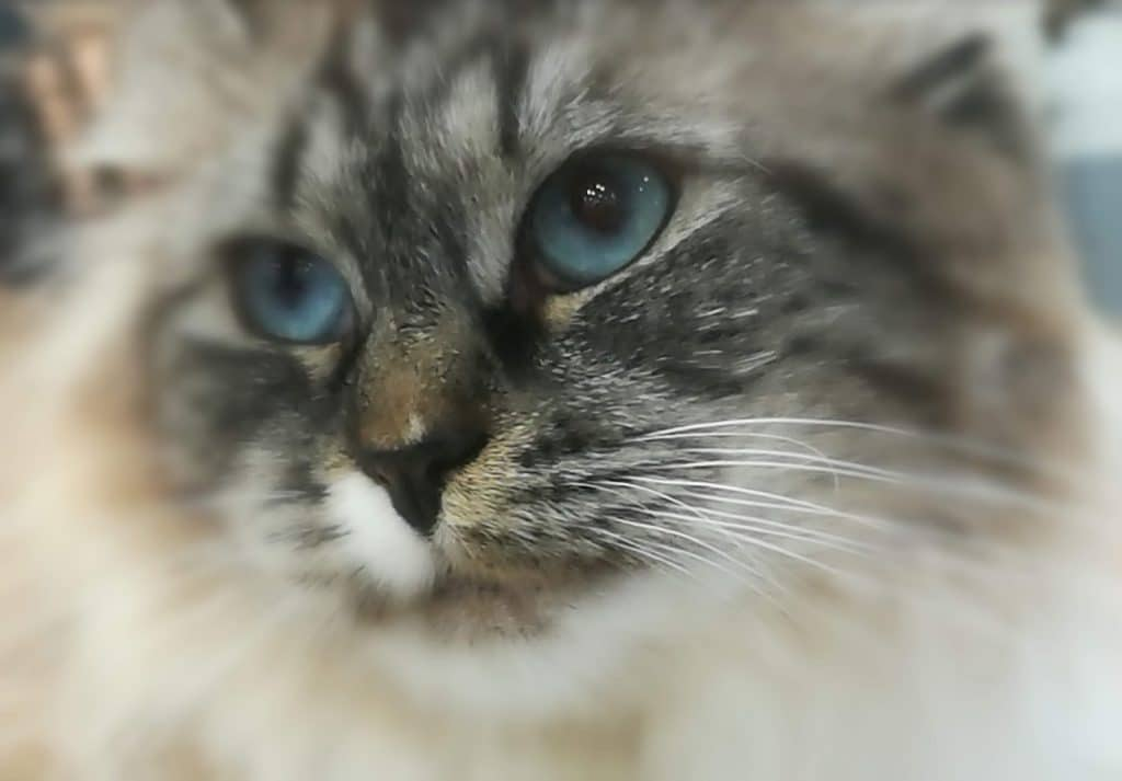 Ala Bastet Beauty - female Siberian Neva Masquerade cat 2
