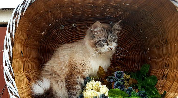 Isis Divinitysib - Female Siberian Neva Masquerade Cat - Bastet Beauty Cattery