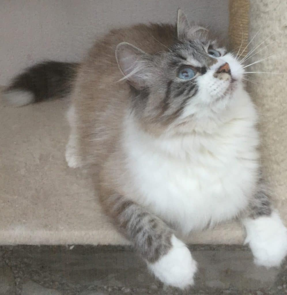 Isis Divinitysib of Bastet Beauty - Siberian Neva Masquerade female cat