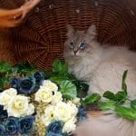 Torin of Bastet Beauty - Neva Masquerade Cattery