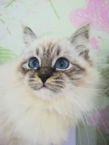 bastet-beauty-cute-neva-masquerade-kittens-from-litter-e-bastet-beauty-cattery