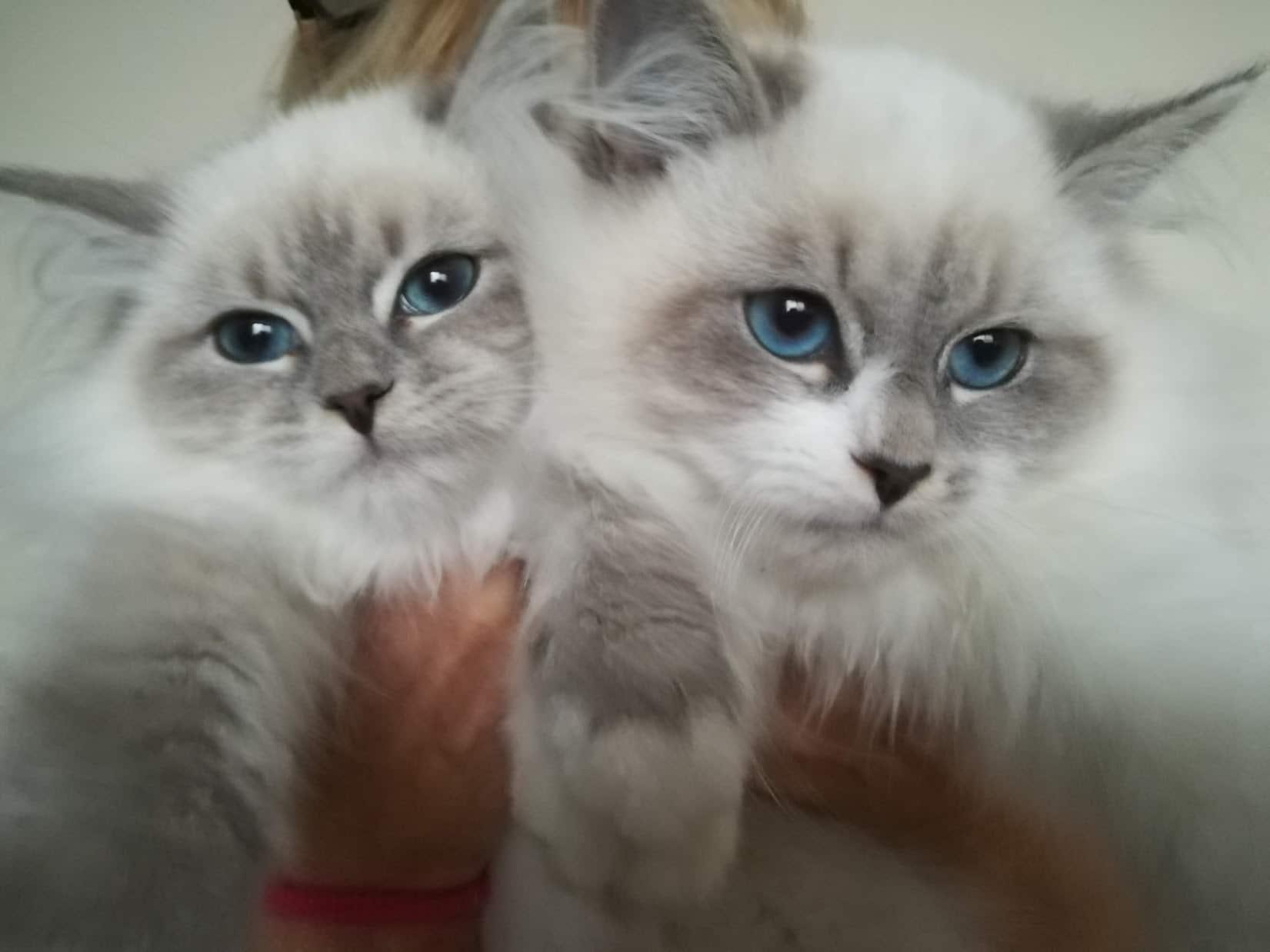 cakan-and-chance-bastet-beauty-neva-masquerade-kittens