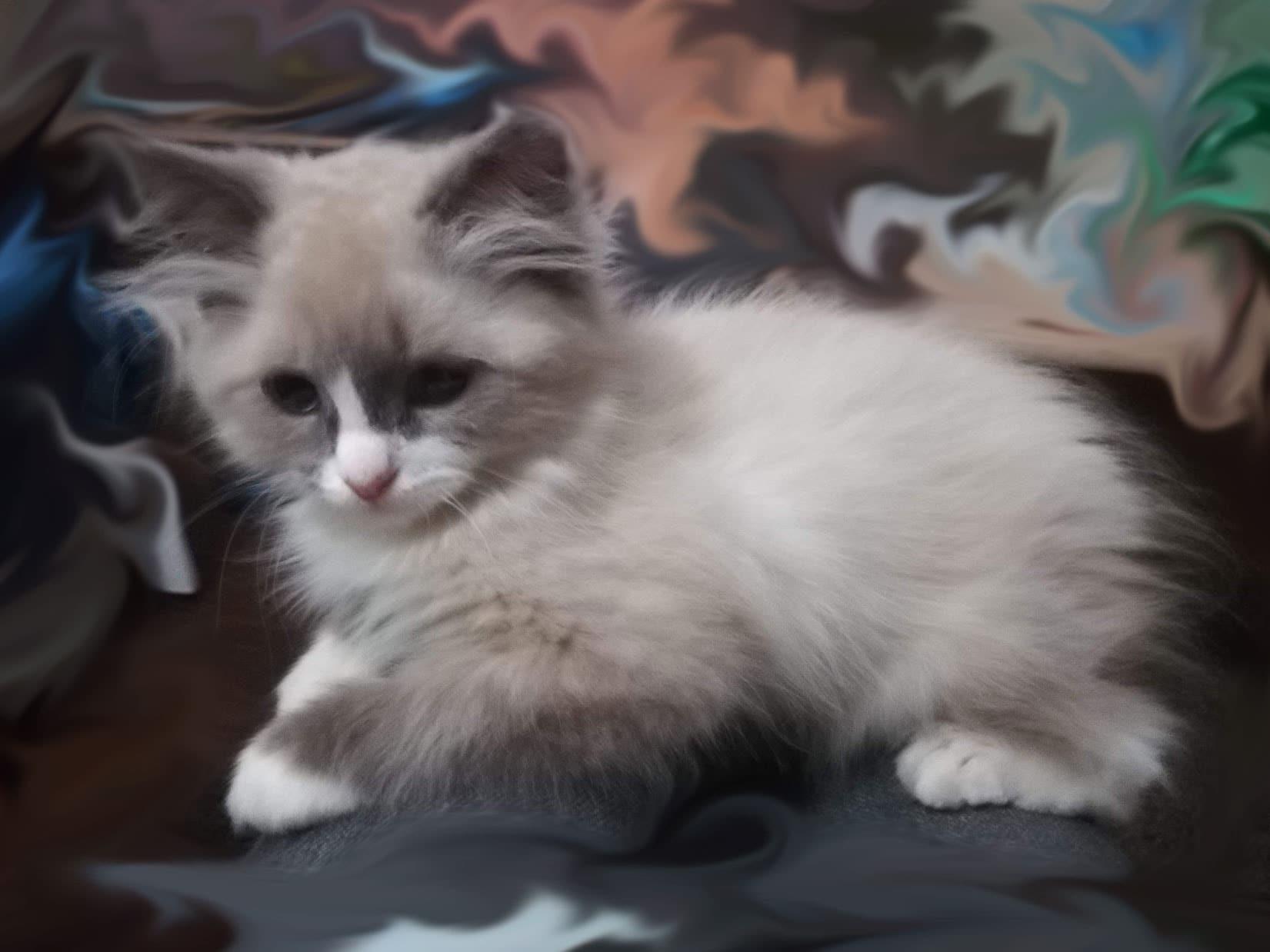 divina-3-bastet-beauty-neva-masquerade-kittens