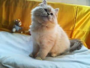 echo-2-bastet-beauty-cute-neva-masquerade-kittens-from-litter-e-bastet-beauty-cattery
