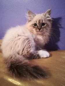 echo-bastet-beauty-cute-neva-masquerade-kittens-from-litter-e-bastet-beauty-cattery