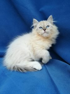 ed-bastet-beauty-cute-neva-masquerade-kittens-from-litter-e-bastet-beauty-cattery