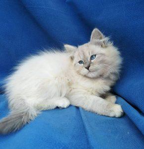 egor-bastet-beauty-cute-neva-masquerade-kittens-from-litter-e-bastet-beauty-cattery