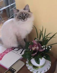 emma-bastet-beauty-cute-neva-masquerade-kittens-from-litter-e-bastet-beauty-cattery