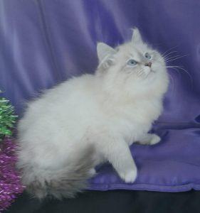 esenin-3-bastet-beauty-cute-neva-masquerade-kittens-from-litter-e-bastet-beauty-cattery