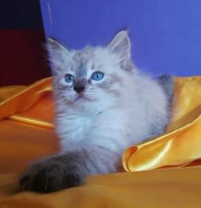 esenin-bastet-beauty-cute-neva-masquerade-kittens-from-litter-e-bastet-beauty-cattery