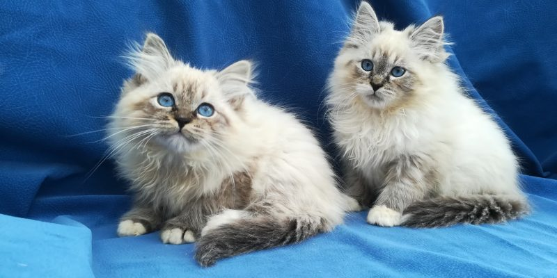 fedor-and-feodor-bastet-beauty-cute-neva-masquerade-kittens-from-litter-F-bastet-beauty-cattery
