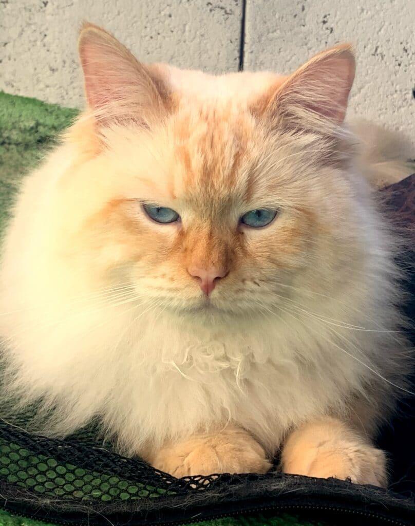 Hektor Bastet Beauty - male Neva Masquerade cat (1)