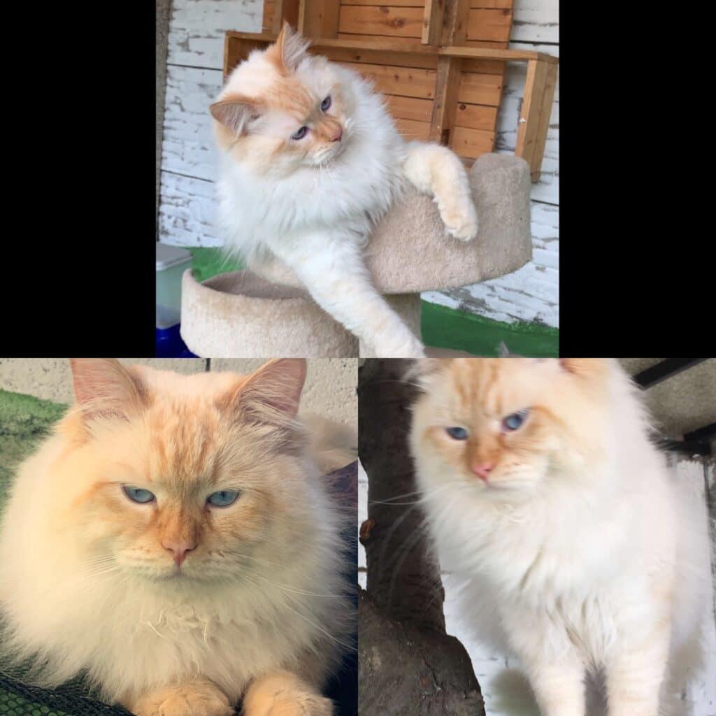 Hektor Bastet Beauty - male Neva Masquerade cat (2)