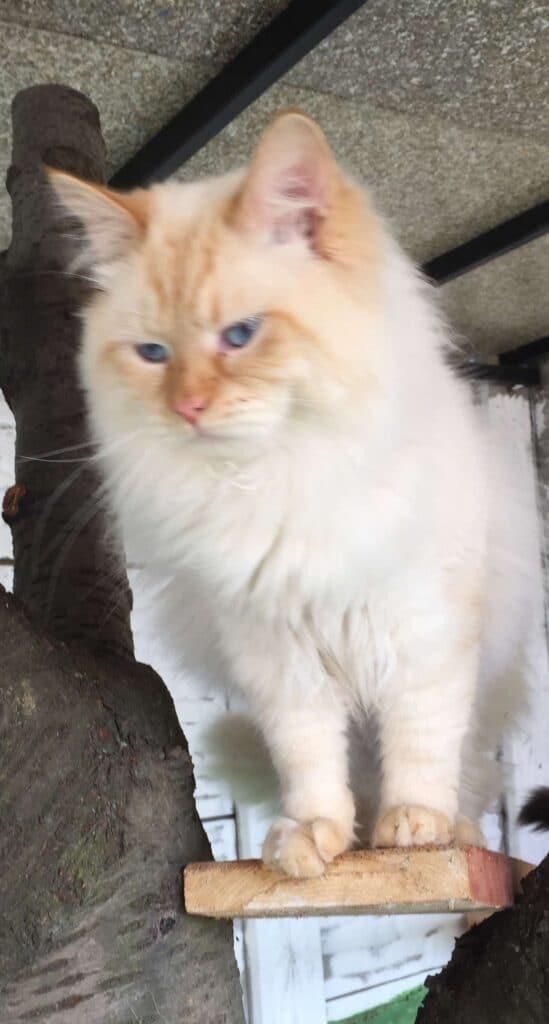 Hektor Bastet Beauty - male Neva Masquerade cat (4)