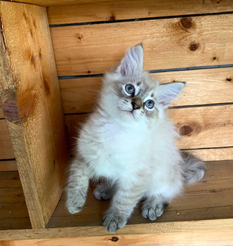 Neva Masquerade Siberian Cats- Litter I 00002