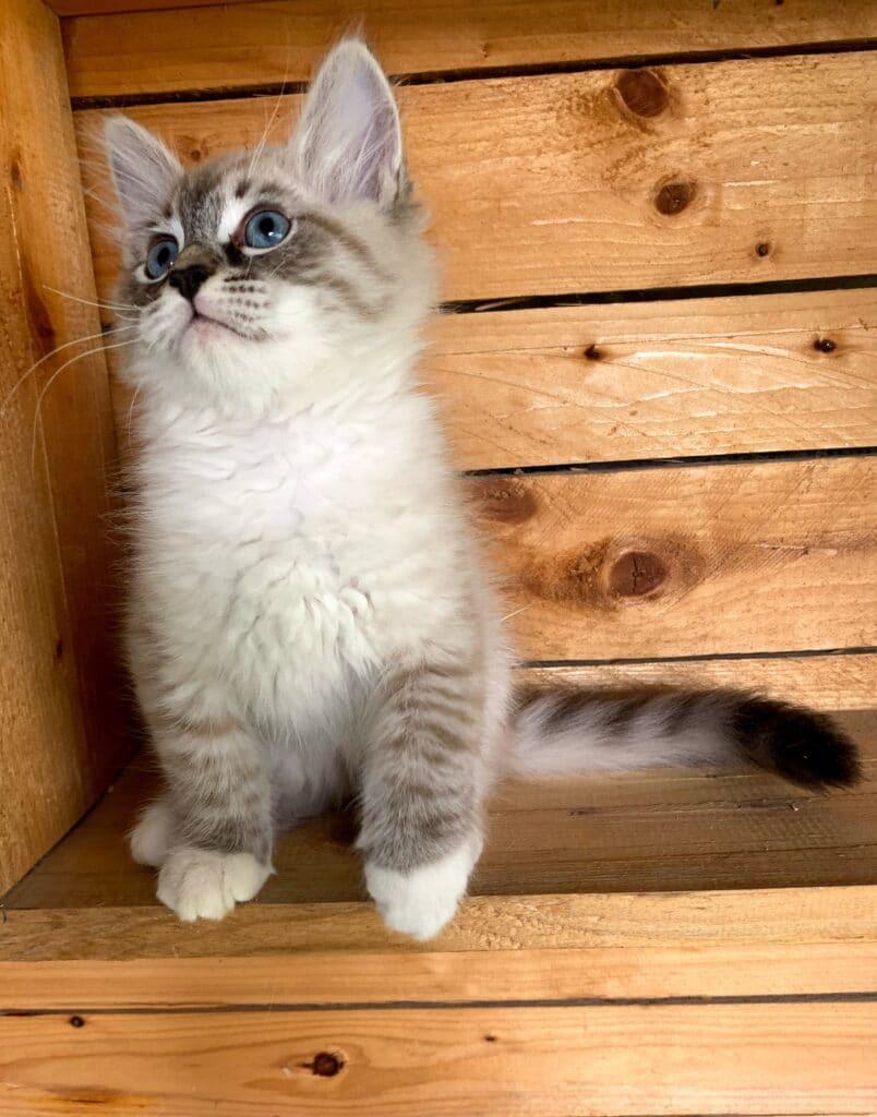 Neva Masquerade Siberian Cats- Litter I 00005
